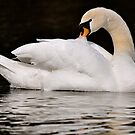 Swan Grooming  by Monte Morton
