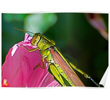 Grasshopper eating a Flower Poster