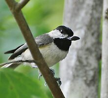 Black Capped Chickadee With Seed by Kathy Baccari