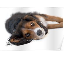 Cute Black Tan White Pup Poster