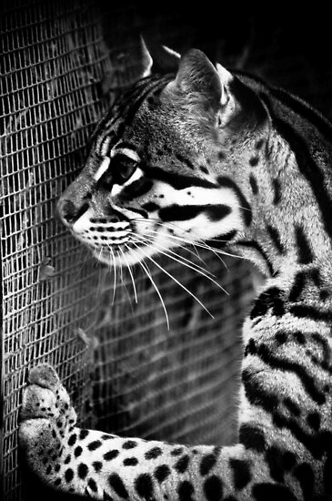 Ocelot by Dominic  Boulding
