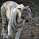 White Tiger by asharamu
