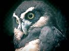 Spectacled Owl by Veronica Schultz
