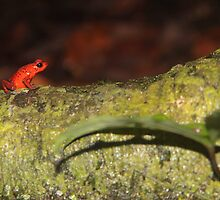 Strawberry Poison Dart Frog by Jillian Johnston