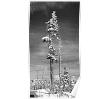 Snow Covered Pine in Black and White Poster
