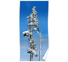 Snow Covered Pine Poster