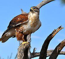 Ferruginous Hawk Portrait by levipie