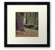 Redwood Forest, Yosemite National Park Framed Print