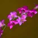 Pink Orchid Spray by Geoffrey Higges