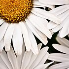 White Daisy by Judi Mowlem