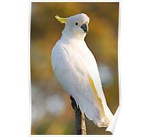 Sulphur Crested Cockatoo. Cedar Creek, Queensland Australia. Poster