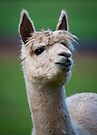 """Llama Portrait"" by Heather Thorning"
