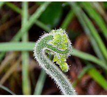 Baby tree fern in the Great Otway National Park Photographic Print