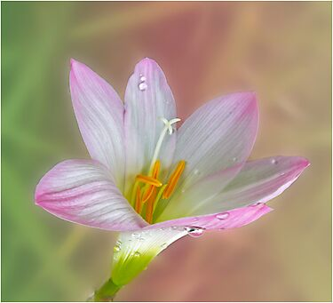 Crocus by Helenvandy