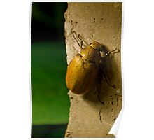 Big beetle seen on a wall in Bali, Indonesia Poster