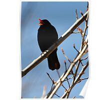 Blackbird singing Poster
