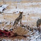 Yellowstone Coyotes 1 by Miles Glynn