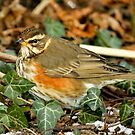 Cold Redwing by Robert Abraham