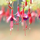 The Ballet Company ... Pink Fuchsia Flowers by StarFlowerSt