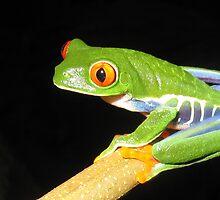 Red-eyed Treefrog (Agalychnis callidryas) by Carol Bock