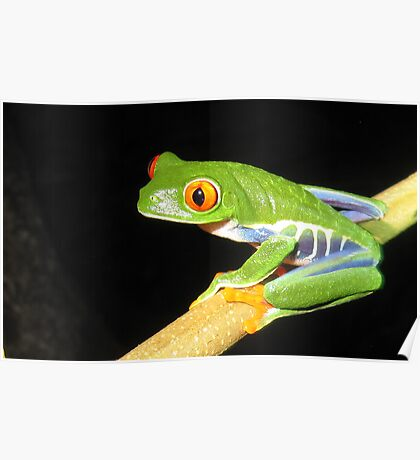 Red-eyed Treefrog (Agalychnis callidryas) Poster