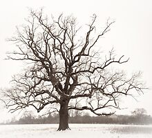 The old oak tree by DaleReynolds