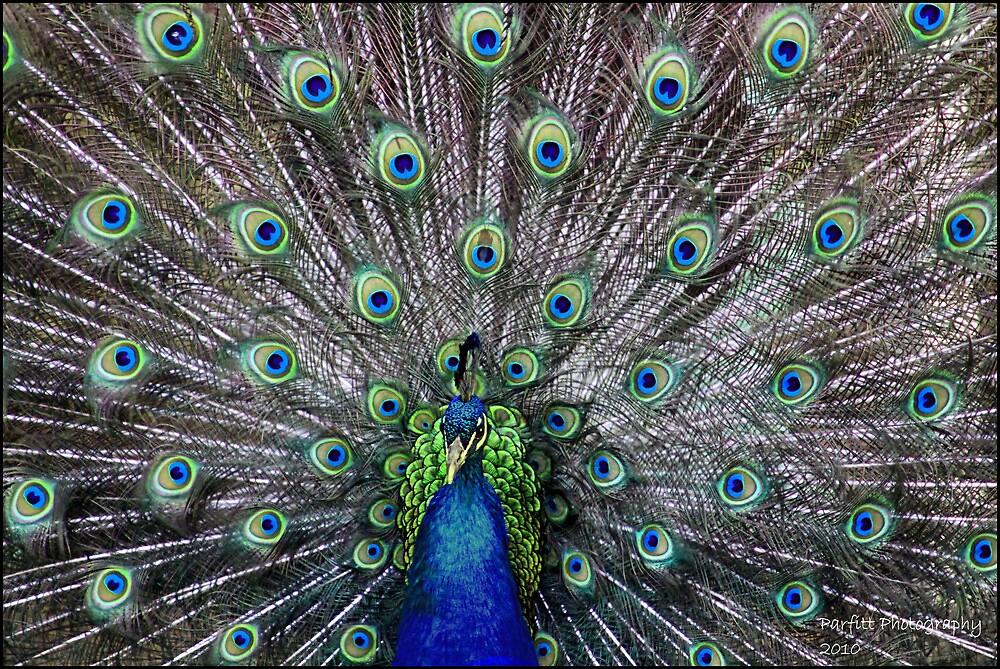 Peacock parade by Greg Parfitt