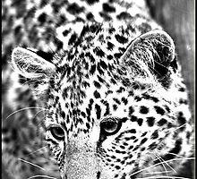 Leopard, hunting! by Greg Parfitt
