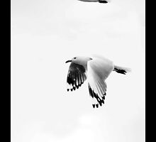 Three Seagulls in Flight - Northern Tasmania  by aslanimages