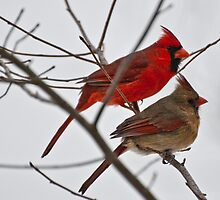 Male and Female Cardinal  by barnsis