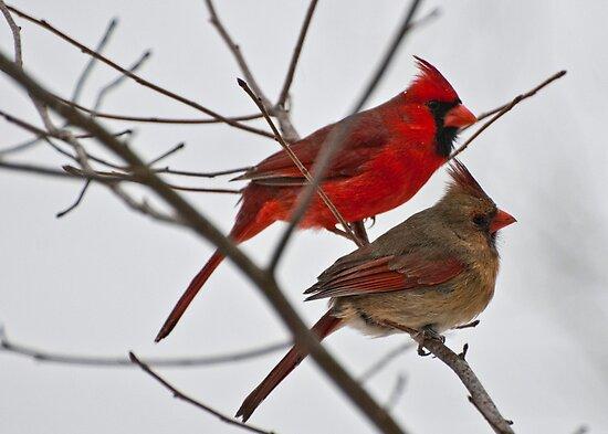Cardinal Bird Facts  The Cardinal Experience