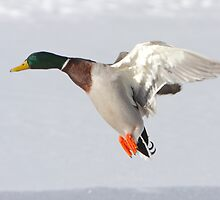 Duck Down by Todd Weeks