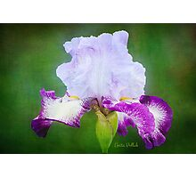 Painted Iris Photographic Print