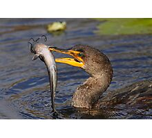 Double-crested Cormorant Fishing Photographic Print