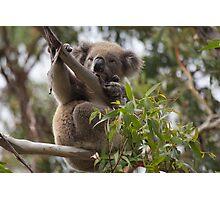 Koala on Otway Lighthouse Road Photographic Print