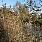 Canal Bank Reeds by spaulfam