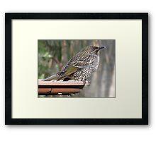 Juvenile Brush Wattlebird Framed Print