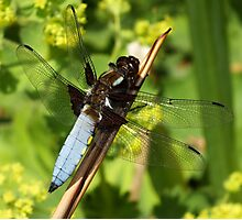 Dragonfly - King of the Garden Photographic Print