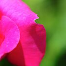 Rose by Walter Cahn