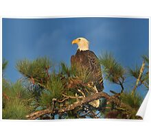 Bald Eagle In A Pine Tree Poster