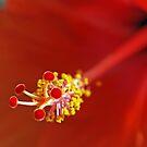 Hibiscus Macro by Leon Heyns