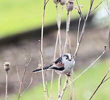 Long Tailed Tit image 2 by missmoneypenny