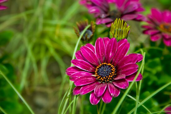Pink Cape Daisy Flower by Vicki Field