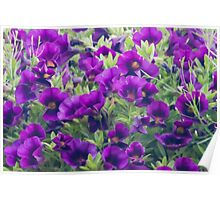 Purple Miniature Petunia Blossoms  Poster
