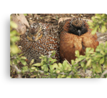 """Masked"" Northern Bobwhite Canvas Print"
