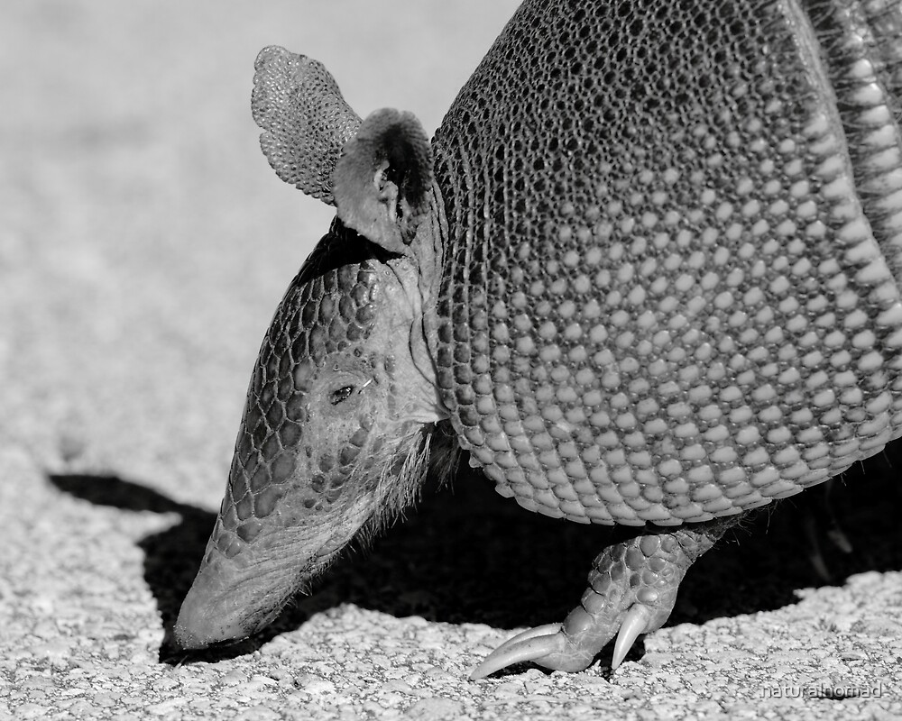 Armadillo  by naturalnomad