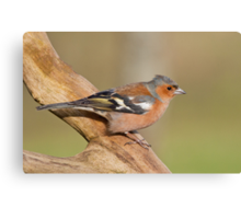 Chaffinch Canvas Print