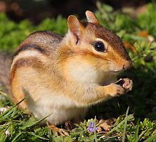 Afternoon Snack / Eastern Chipmunk  by naturalnomad