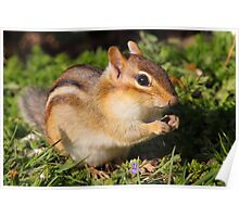 Afternoon Snack / Eastern Chipmunk  Poster