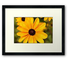 Black Eyed Susan 1 Framed Print